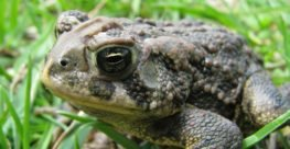Canadian Toad Recognizer Progress Report