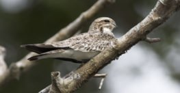Common Nighthawk (Chordeiles minor) Recognizer