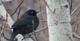 Rusty Blackbird (Euphagus carolinus) Population and Distribution Data in the Athabasca and Cold Lake Oil Sands Region of Alberta Using Automated Recording Units (ARUs)
