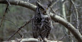 The Effect of Industrial Noise on Owl Occupancy in the Boreal Forest at Multiple Spatial Scales