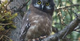 Using Bioacoustics to Study Vocal Behaviour and Habitat Use of Barred Owls, Boreal Owls, and Great Horned Owls